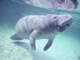 Manatee, Crystal River NW Refuge, FL Photographic Print by Frank Staub