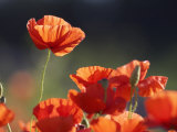 Common Poppy, Red Petals Backlit in Early Morning Light, Scotland Lámina fotográfica por Mark Hamblin