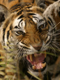 Bengal Tiger, Snarling, Madhya Pradesh, India Stampa fotografica di Elliot Neep