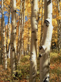 Aspen (Populus Tremuloides) Trees Photographic Print by Allen Russell