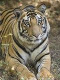 Bengal Tiger, Portrait of Male Tiger, Madhya Pradesh, India Stampa fotografica di Elliot Neep