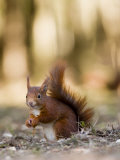 Red Squirrel, Sat on Ground in Leaf Litter, Lancashire, UK Stampa fotografica di Elliot Neep