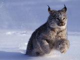 Canada Lynx (Lynx CanadensIs) Running Through Snow Fotografie-Druck von Daniel J. Cox