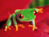 Red-Eyed Tree Frog Fotografisk tryk af David Davis