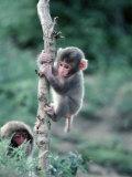 Snow Monkeys Reproduction photographique par John Dominis