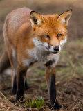 Red Fox, Head on Full-Body Portrait, Lancashire, UK Fotografie-Druck von Elliot Neep