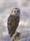 Barn Owl, Full-Frame Portrait of Barn Owl Perched on Fence Post, Lancashire, UK Stampa fotografica di Elliot Neep