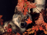 Gray Wolf Peeks Through Leaves, Canis Lupus Fotoprint van Lynn M. Stone