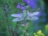 Dragonfly Photographic Print by Lynn M. Stone
