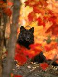 Black Timber Wolf Behind Autumn Foliage Fotografisk trykk av Don Grall