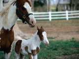 One Day Old Horse with Mother Photographic Print by Chris Rogers