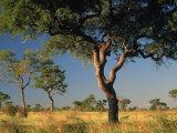 Acacia Trees, Kruger National Park, South Africa Fotografisk tryk af Walter Bibikow
