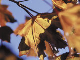 Autumn Color of Maple Leaves, CO Photographic Print by Gary Conner