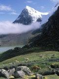 Mt. Ausangate in Rear with Alpacas in Valley, Peru Fotografie-Druck von Shirley Vanderbilt