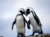 Jackass Penguins, South Africa Photographic Print by Don Romero
