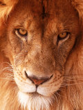 Close-up of Lion's Face Photographic Print by Tim Lynch