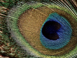 Close-up of Peacock Feather Photographic Print by Russell Burden