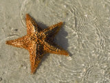 Starfish on the Beach Fotografie-Druck von Alan Veldenzer