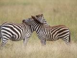Burchell's Zebras, Serengeti, Tanzania Stampa fotografica di Elizabeth DeLaney