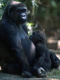 Western Lowland Gorilla Fotografisk tryk af D. Robert Franz