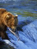 Grizzly Bear with Salmon, Brooks Falls, Katmai, AK Photographic Print by Kyle Krause