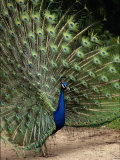 Male Peacock Photographic Print by Jerry Koontz