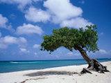 Divi-Divi Tree, Aruba Fotografie-Druck von Jennifer Broadus
