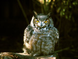 Great Horned Owl Photographic Print by Jerry Koontz