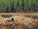 Loon on Nest in Water Photographic Print by Mike Robinson