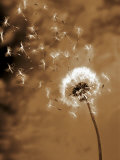 Dandelion Seed Blowing Away Fotografisk tryk af Terry Why