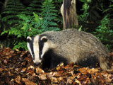 Badger Photographic Print by Mark Hamblin