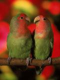 Two Parrots Perched on a Branch Fotografie-Druck von Henryk T. Kaiser