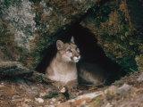 Mountain Lion, Female at Den, USA Fotografisk tryk af Mary Plage