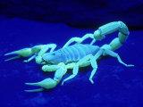 Giant Hairy Scorpion Fotografisk tryk af David M. Dennis