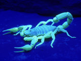 Giant Hairy Scorpion Fotografie-Druck von David M. Dennis