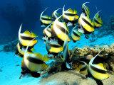 Banner Fish, St. Johns Reef, Red Sea Fotografisk trykk av Mark Webster
