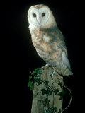 Barn Owl Fotografie-Druck von Mark Hamblin