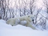Polar Bears, Mother with Very Young Cubs Just Leaving Winter Den, Manitoba, Canada Lámina fotográfica por Daniel J. Cox