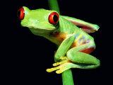 Red-Eyed Tree Frog Fotografisk tryk af David M. Dennis