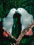 African Grey Parrot, Pet Portrait, California, USA Lámina fotográfica por Frank Schneidermeyer