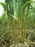 Sugar Cane, Malaysia Valokuvavedos tekijänä Harold Taylor