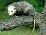 Opossum on Branch, USA Fotografie-Druck von Mark Hamblin