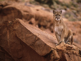 Mountain Lion in Canyonlands of Utah, USA Photographic Print by Daniel J. Cox