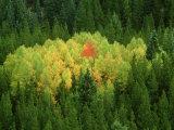 Aspen Trees, Pattern in Autumn, Colorado Fotoprint van Adam Jones