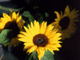 Sunflowers Photographic Print by Rick Kooker