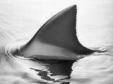 Shark Fin Fotografisk tryk af Howard Sokol