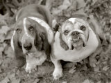Two Dogs Looking Up Photographic Print by Gareth Rockliffe