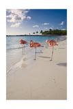 Caribbean Beach With Pink Flamingos, Aruba Fotografie-Druck von George Oze