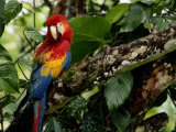 A Wild Scarlet Macaw Perched on a Tree in Costa Rica Lámina fotográfica