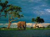 Elephant by a Water Hole on the African Plain Fotografisk trykk av Beverly Joubert